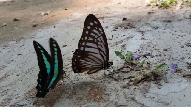 Butterflies are feeding from the sand, Common Bluebottle Butterfly.