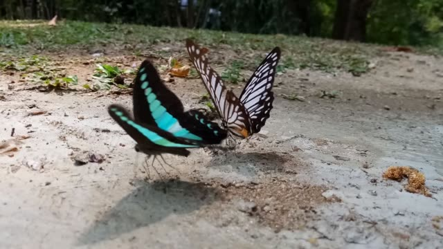 Butterflies are feeding from the sand Common Bluebottle