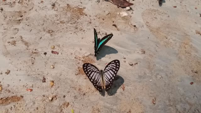 Butterflies are feeding from the sand