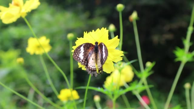 Butterflies are flying with yellow flowers video