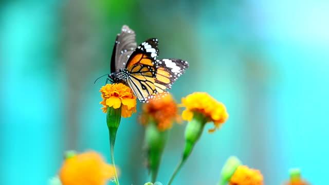 Butterflies eat pollen video