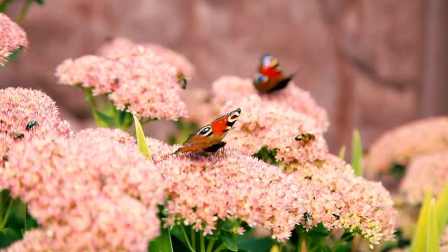 Butterflies flying over pink garden flowers video