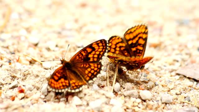 farfalle nella sabbia - farfalla ramo video stock e b–roll