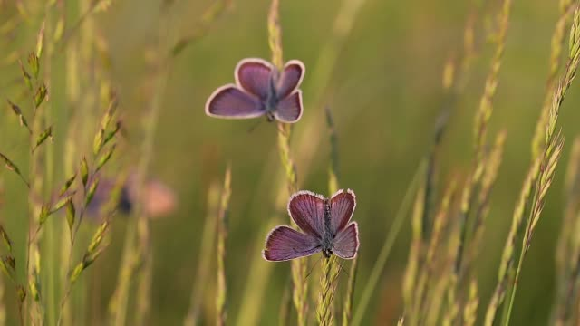 Butterflies resting together on the plants in sunset light