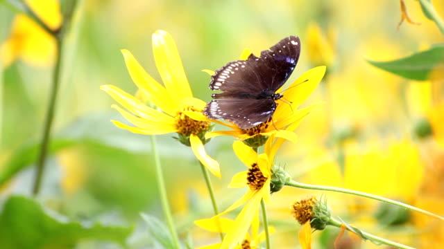 Butterfly and sunchoke flower video