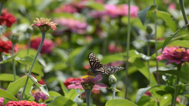Butterfly at colorful Chrysanthemum field