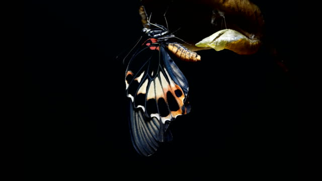 Butterfly black background