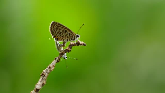 Papillon de reproduction sur la branche. - Vidéo