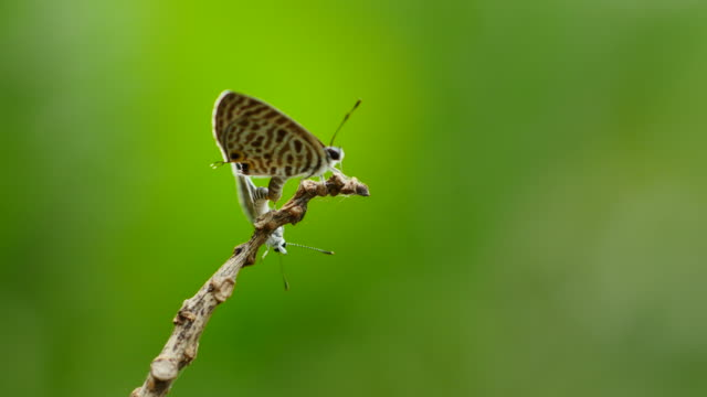Butterfly breeding on branch. - vídeo