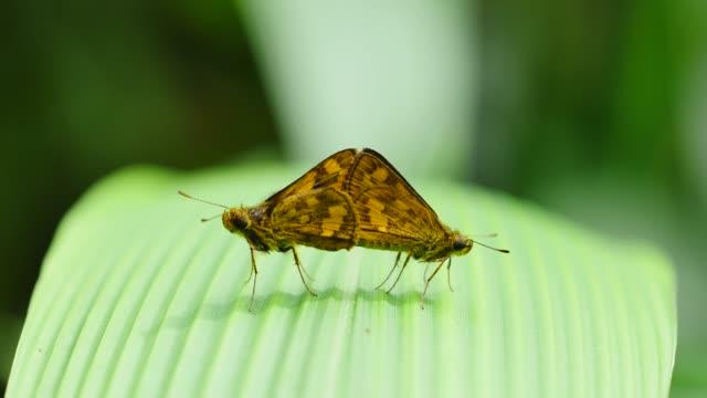 Butterfly breeding on green leaf. Butterfly breeding on green leaf. videos of dogs mating stock videos & royalty-free footage