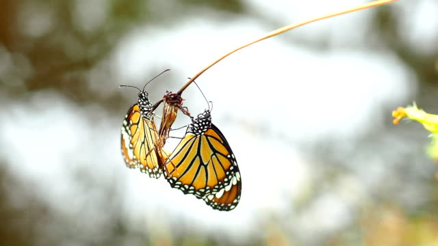butterfly breeding two butterflies are breeding and holding each other on stick videos of dogs mating stock videos & royalty-free footage