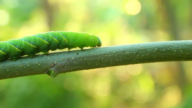 butterfly caterpillar crawling on a branch - farfalla ramo video stock e b–roll
