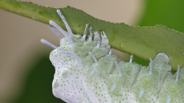 蝶の幼虫の頭を動かす - 動物の身体各部点の映像素材/bロール