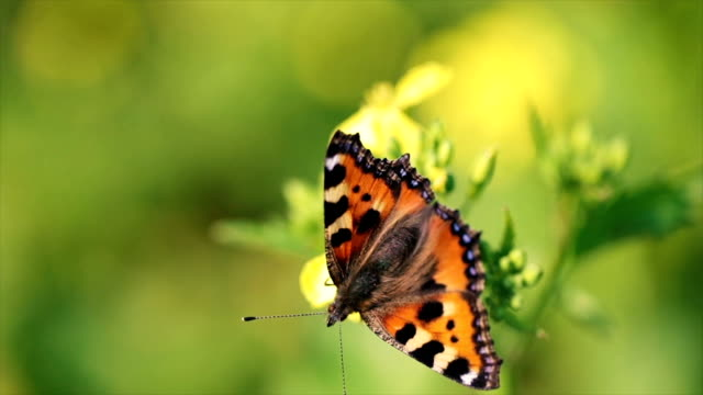 Butterfly closeup on a flower in slow motion video