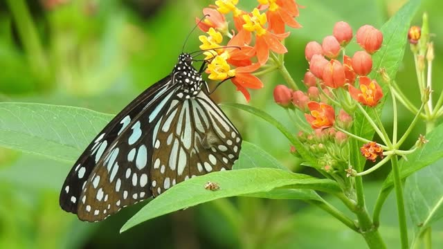 Butterfly closeup on yellow flower. Monarch Butterfly on yellow flower. Tiger Butterfly closeup view