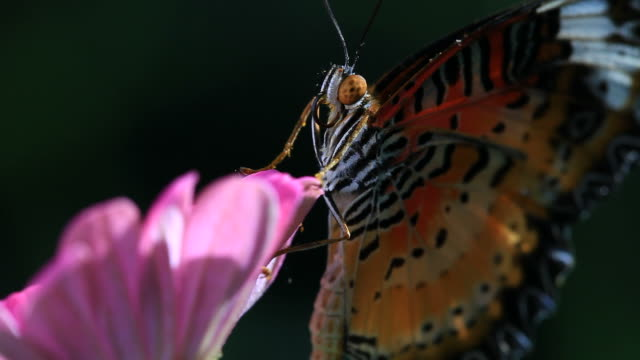 Butterfly Close-up video