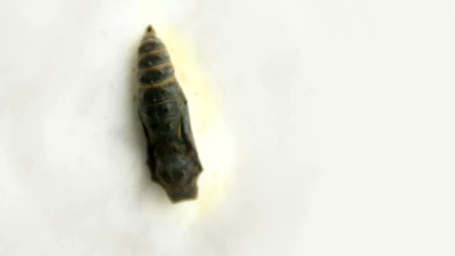 Butterfly cocoon in time lapse video