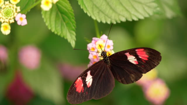 4K - Butterfly Collects Nectar of Flowers. Close-up