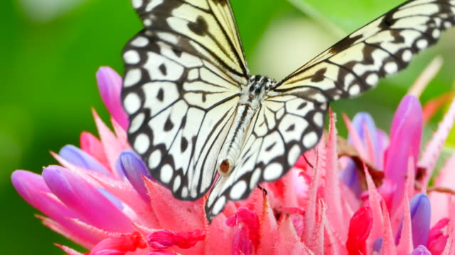 butterfly drinking from tropical flower, macro closeup - butterfly stock videos and b-roll footage
