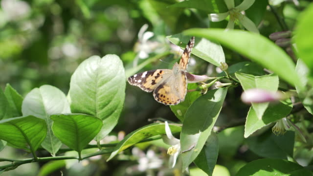 butterfly drinks nectar and collects pollen on a flowering lemon tree - farfalla ramo video stock e b–roll