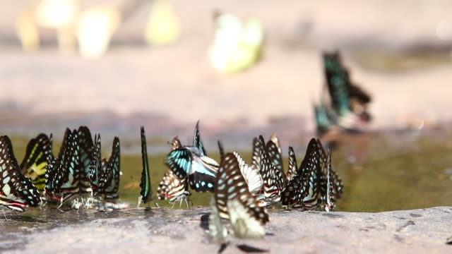 Butterfly eating in nature on stone. Butterfly eating in nature on stone. larva stock videos & royalty-free footage