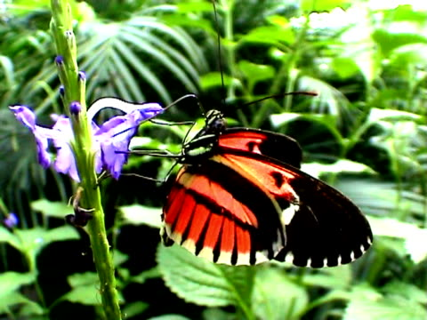 Butterfly eating (Heliconius erato) Butterfly on flower eating nectar.(Heliconius erato) arthropod stock videos & royalty-free footage