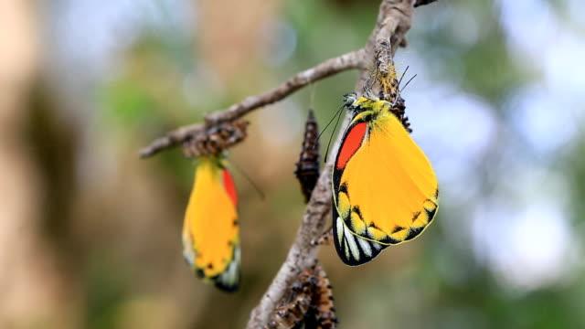 farfalla emergenti da chrysalis - farfalla ramo video stock e b–roll
