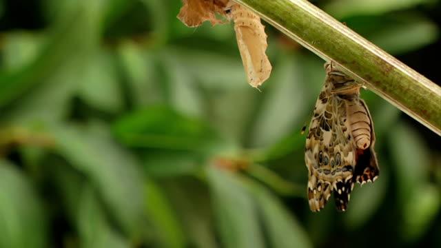 espelle meconium farfalla - farfalla ramo video stock e b–roll