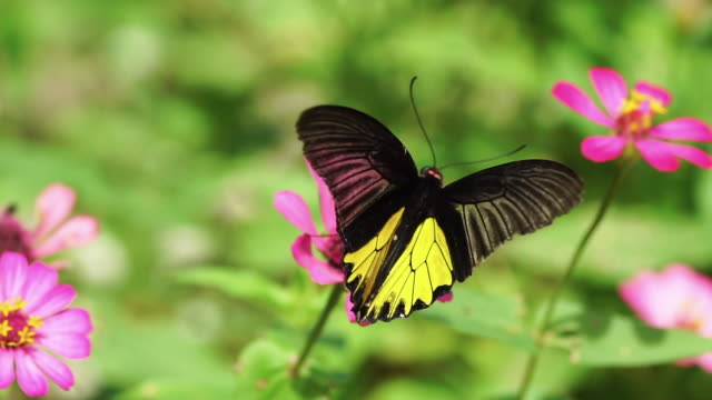 Butterfly feeding nectar from field of pink flowers