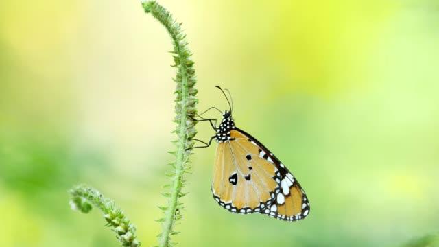 butterfly utfodring på blomma. - pollinering bildbanksvideor och videomaterial från bakom kulisserna
