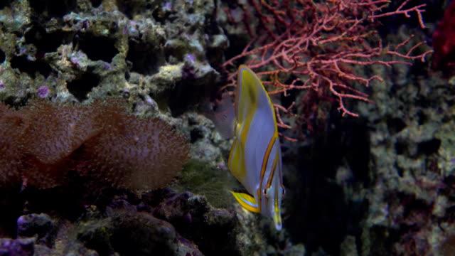 schmetterling fische schwimmen unter wasser gegen korallen fullhd-video - ichthyologie stock-videos und b-roll-filmmaterial