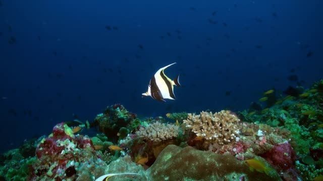 kelebek balık yiyecek bulmak alacakaranlıkta resif üzerinde. - etçiller stok videoları ve detay görüntü çekimi