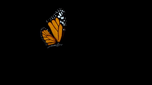 Butterfly flies into shot and lands.