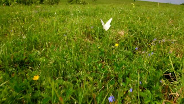 Butterfly flies on a meadow. video