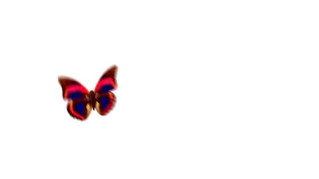 Butterfly flight with alpha channel video