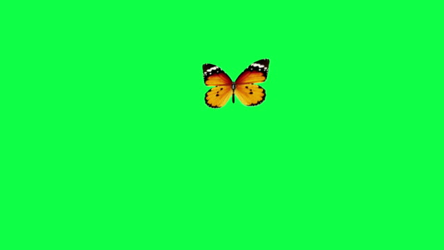 Butterfly flight with alpha channel Butterfly flight and landing on a green background with alpha channel butterfly insect stock videos & royalty-free footage