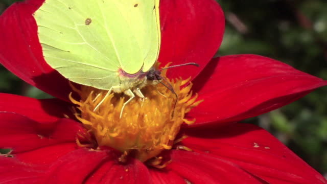 Butterfly, Flower and Bumblebee in slow motion.