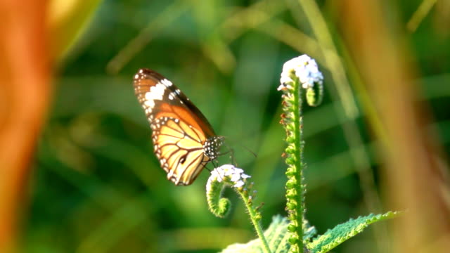 butterfly flying catching on petal flower in garden. it beautiful black orange butterfly on white flower on morning. adult butterflies have large and often brightly colored wings. - farfalla ramo video stock e b–roll