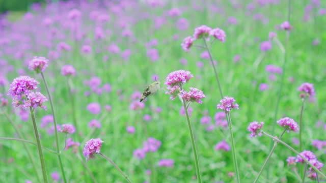 Butterfly flying catching on petal Verbena Bonariensis flower in garden.
