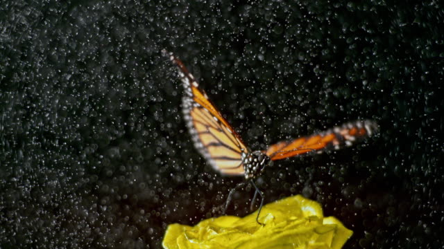 slo mo butterfly flying from a rose in rain - insetto video stock e b–roll
