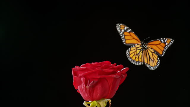 SLO MO Butterfly flying off a red rose on black background