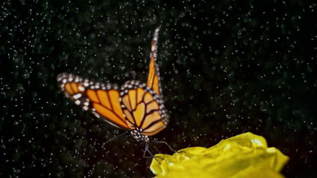 slo mo butterfly flying off a yellow rose as the rains starts to fall - butterfly stock videos & royalty-free footage