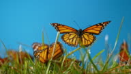istock SLO MO LD Butterfly flying off the grass in sunshine 993253088
