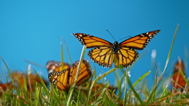 SLO MO LD Butterfly flying off the grass in sunshine