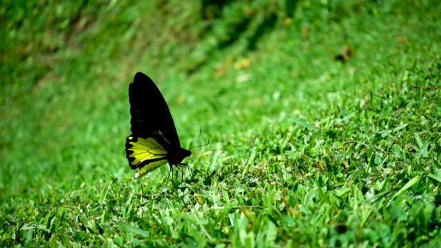 スローモーションを飛んでいる蝶 - ハエ点の映像素材/bロール