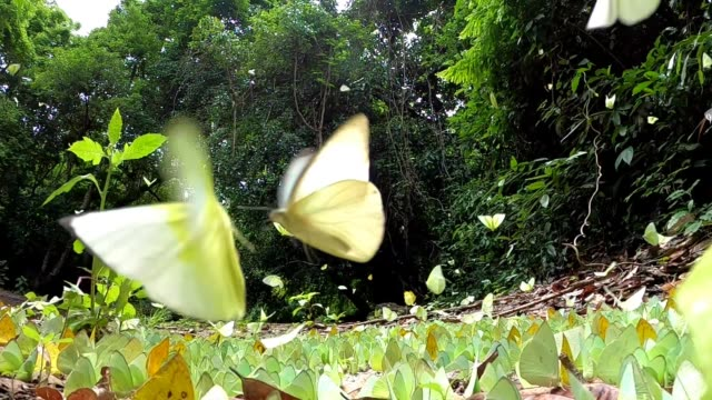 butterfly flying slow motion video slow motion of butterfly flying, Catopsilia pomona pomona Fabricius butterfly insect stock videos & royalty-free footage