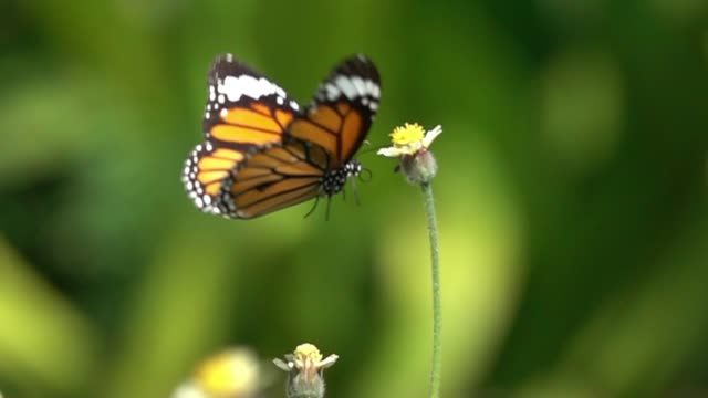 Schmetterling fliegen Zeitlupe – Video