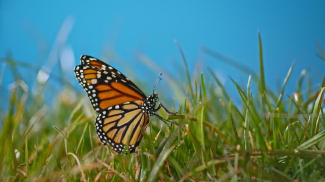 SLO MO Butterfly flying up from the green grass in sunshine