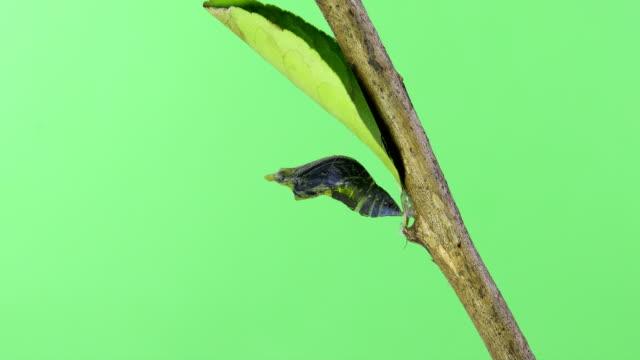 stockvideo's en b-roll-footage met vlinder groen scherm time-lapse - rups