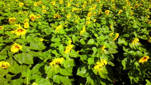 Butterfly in sunflowers video